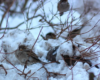 Sparrows and Dirty Snow