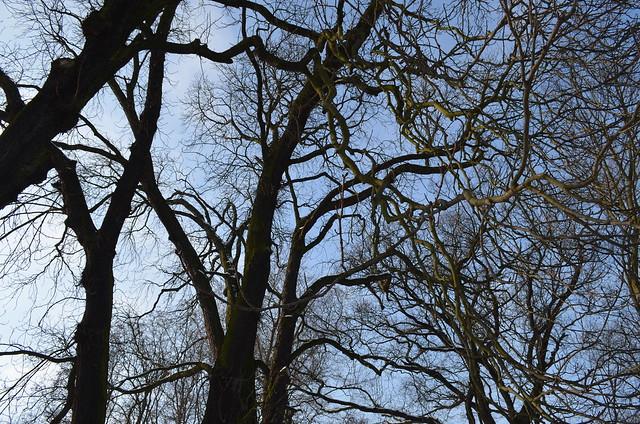 Snow day in Pankow Volkspark Schönholzer Heide knarled trees