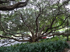 Giant New Zealand Christmas Tree in Victoria Park Auckland. Metrosideros excelsa.