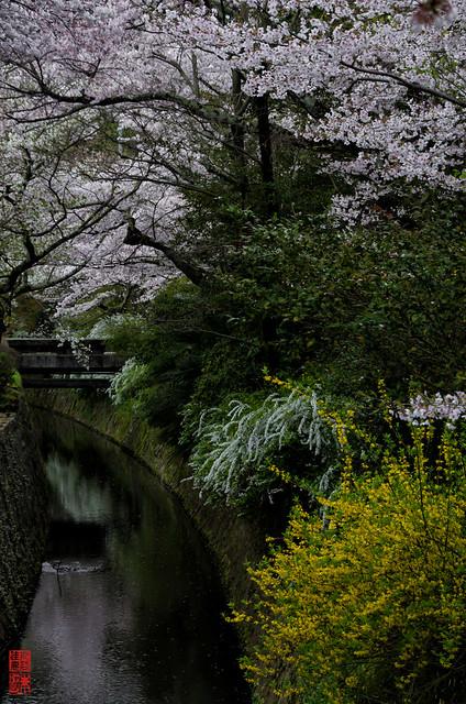 「春の競演」 哲学の道 - 京都