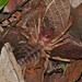 Small photo of Sun Spider (Solifugae)