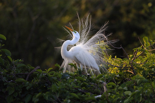 Snowy egret looking for love