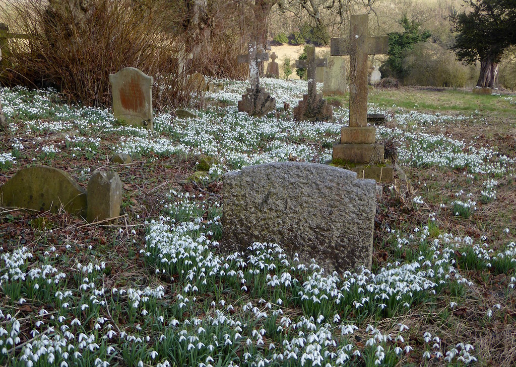 Snowdrops in Radnage churchyard Saunderton via Bledlow walk
