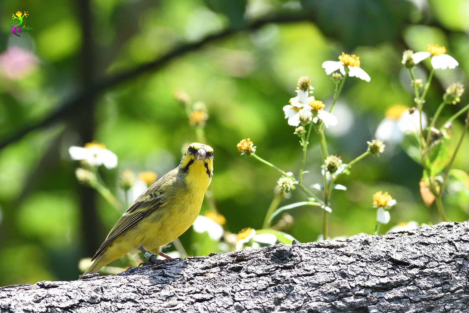 Yellow-fronted_Canary_8342