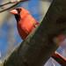 Northern Cardinal 3-29-2017-1