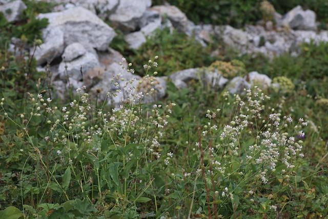 Oberna behen (Caryophyllaceae)