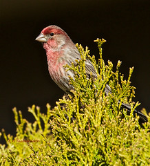 House Finch (Haemorhous mexicanus) - 3