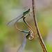 Island Bluetail (Ischnura genei)