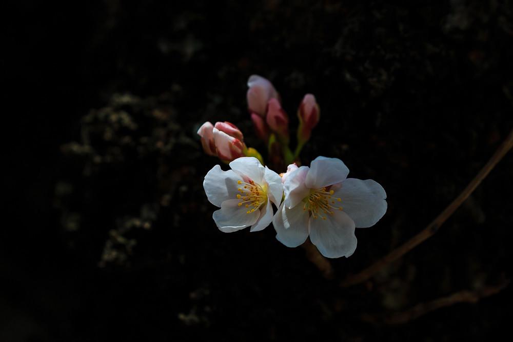 2017 华盛顿樱花-6