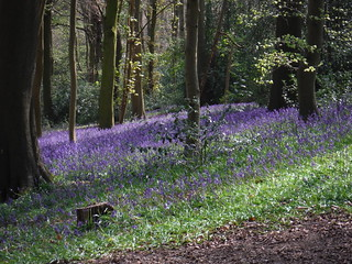 Bluebells in Bradenham Beeches