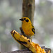 Golden Tanager (Tangara arthus).  Refugio Paz de las Aves.  Tandayapa Valley, north-western Ecuador. by cbrozek21