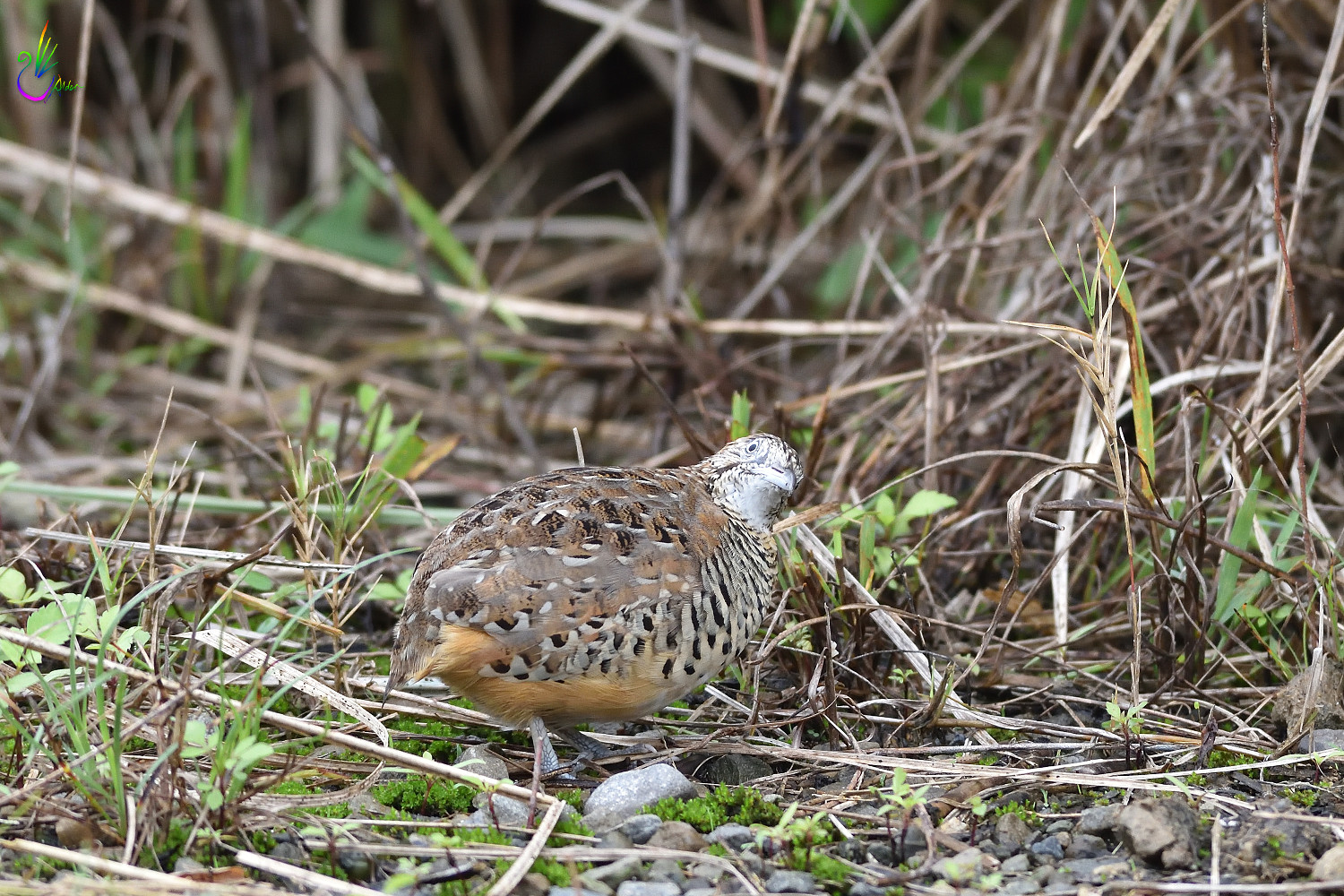 Barred_Buttonquail_7182