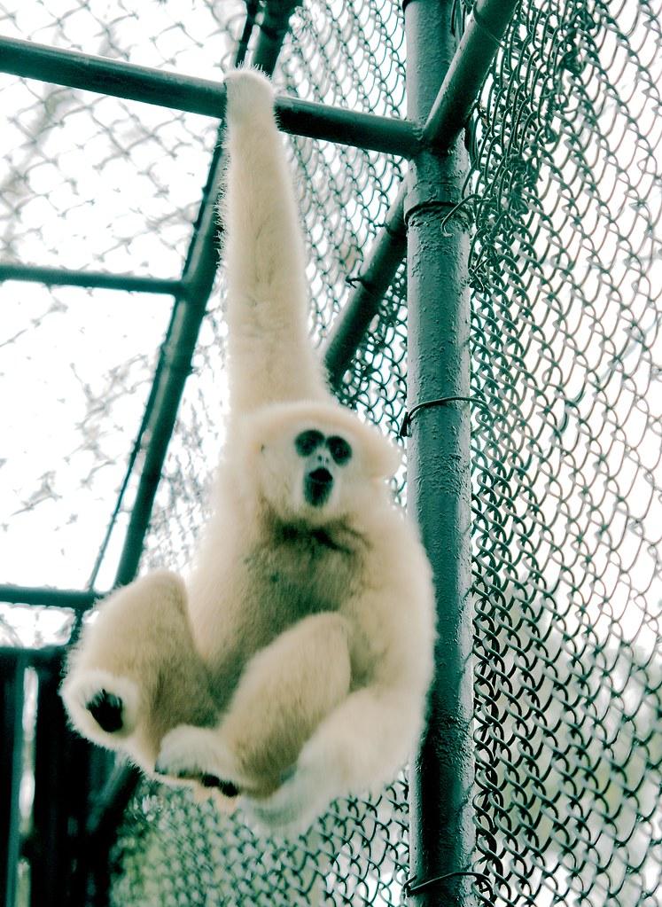 White Handed Gibbon_6