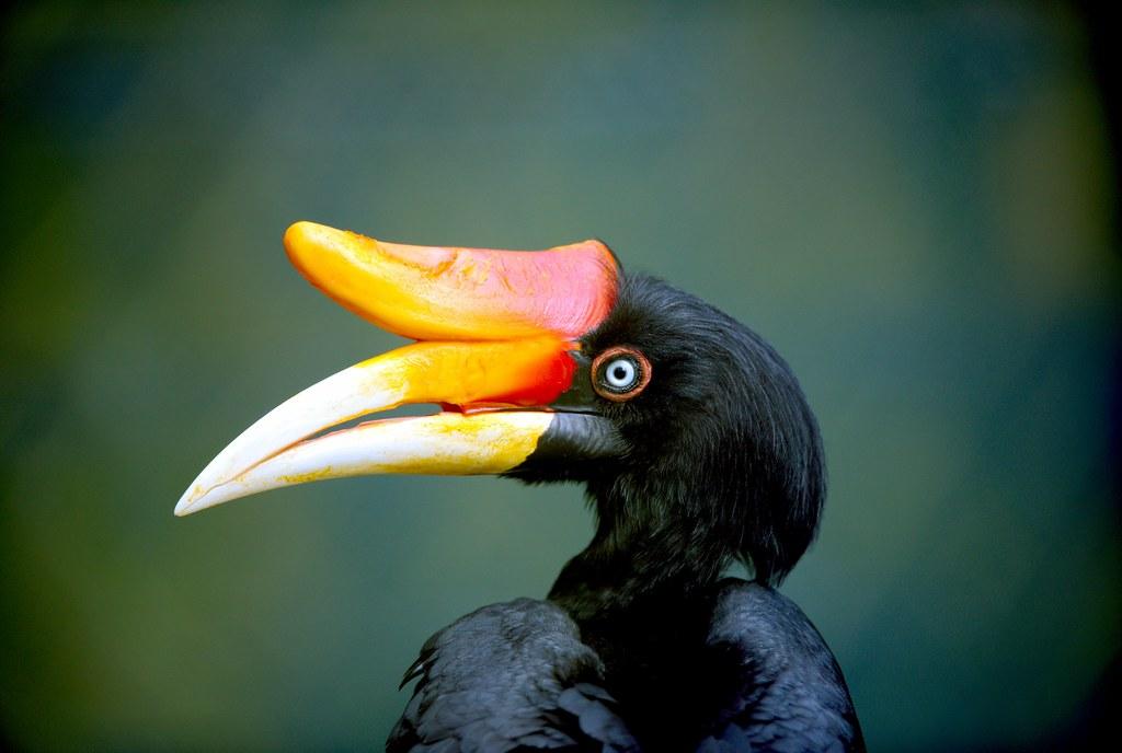 Hornbill_1