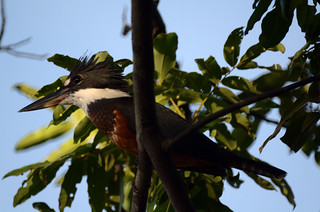 Kingfisher on the Bita River