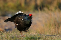 9P1A1235 Black Grouse