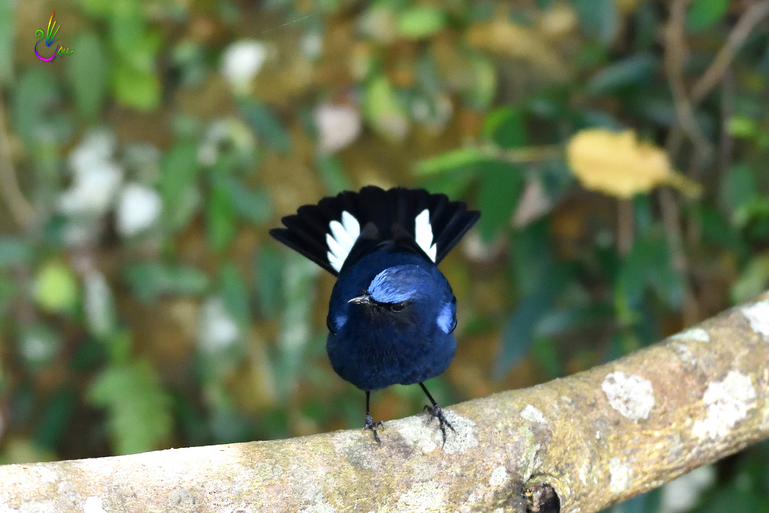 White-tailed_Robin_4415
