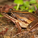 Strongylopus fasciatus - Striped Stream Frog.