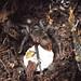 Licósido bajo tronco muerto (2)