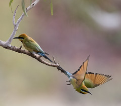 bee eater bath time