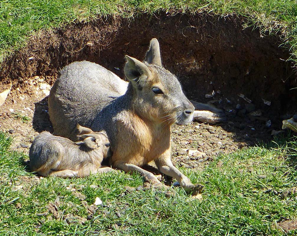 Patagonian Mara Baby