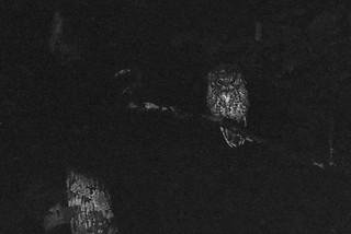 Screech Owl at Night (1978)