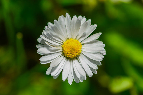 <p><i>Bellis perennis</i>, Asteraceae<br /> Burnaby Mountain Conservation Area, Burnaby, British Columbia, Canada<br /> Nikon D5100, 105 mm f/2.8<br /> June 16, 2013</p>