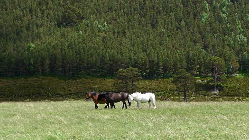Horses in Glen Feshie