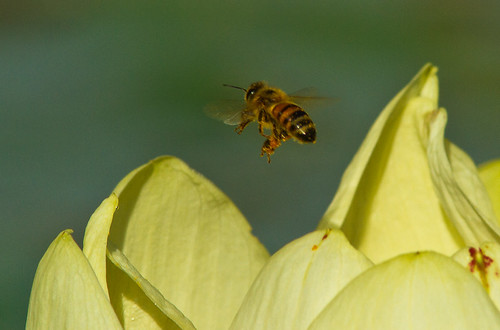Honey Bee on Lotus Flower