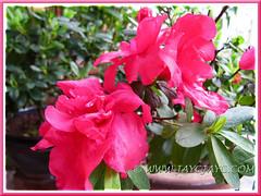 Rhododendron simsii or Azalea indica, July 7 2013