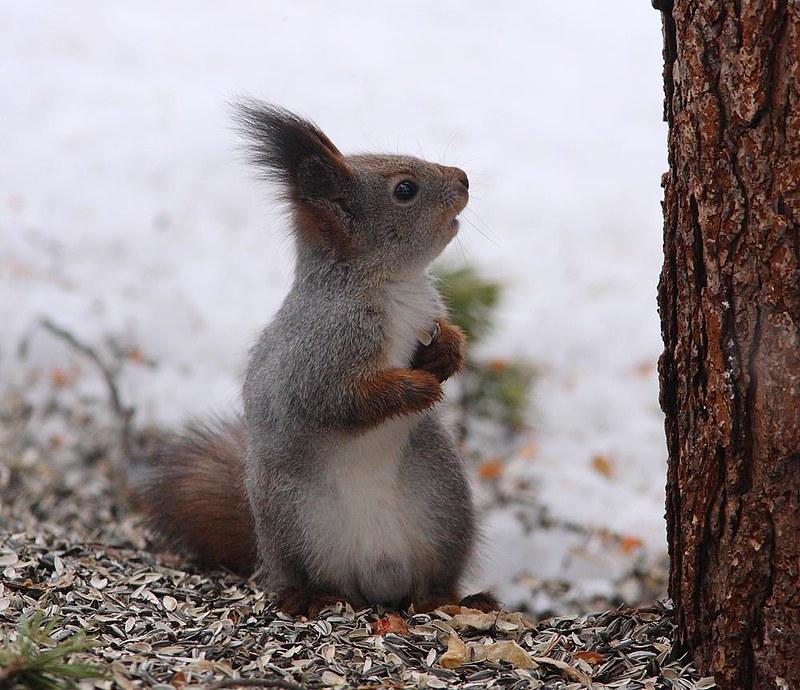 Red Squirrel Birkhusky
