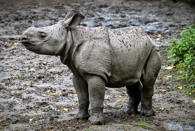 Greater One Horned Rhino Calf