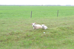 Sheep Outside the Fence