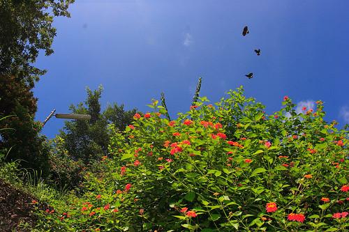就算在路邊,只要有豐富的蜜源植物,其實都不難看到蝴蝶在上方飛舞。