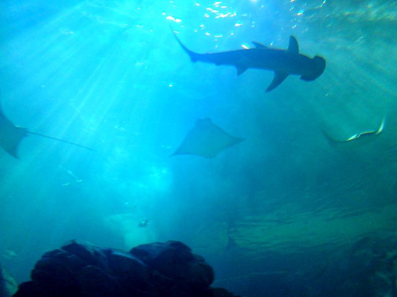 Ripley's Aquarium hammerhead shark