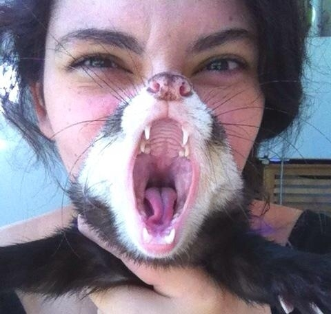 The perfectly timed ferret scream picture:
