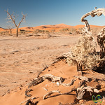 Gnarly Trees and Desert - Namib Desert, Namibia