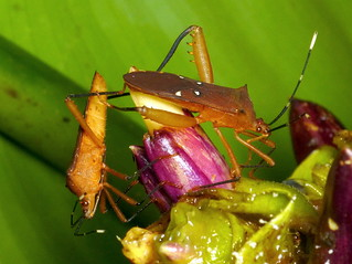 Leaf-footed Bugs, Coreidae