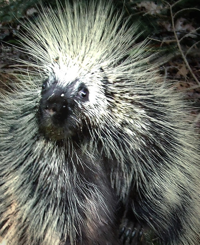 North American porcupine close up