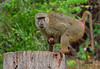 Female Baboon With Infant - 7135b+ by teagden