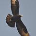 Verreaux's Eagle Walter Sisulu Botanical Gardens Johannesburg  1 June 2012 DSC_1855 tagged