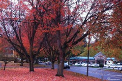 落叶如火 Flaming Foliage
