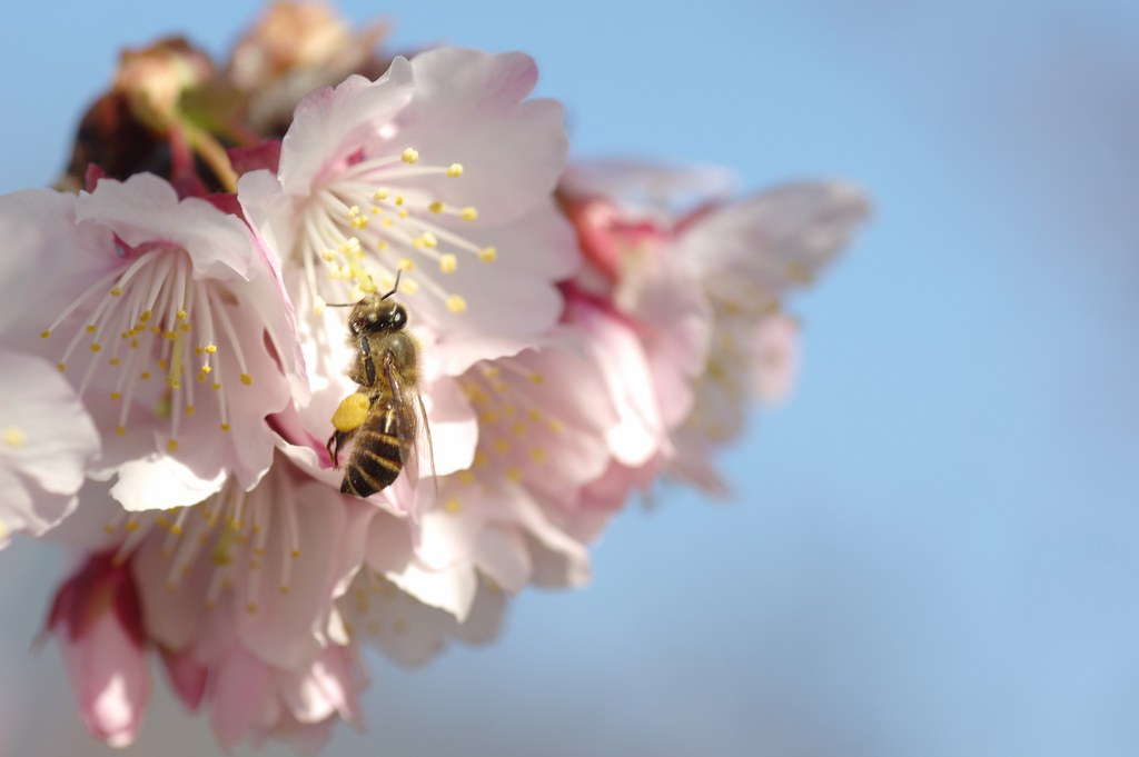 櫻花開啦!
