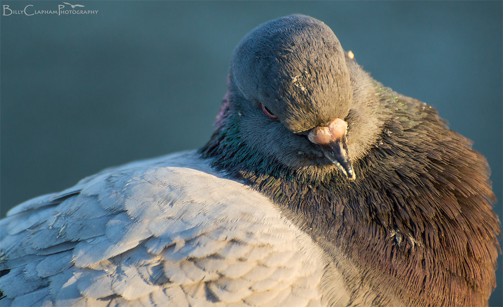 billy clapham photography pigeon wildlife Nikon D3200 70-300mm