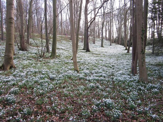 snowdrop walk Walsingham Feb 2014 (18)