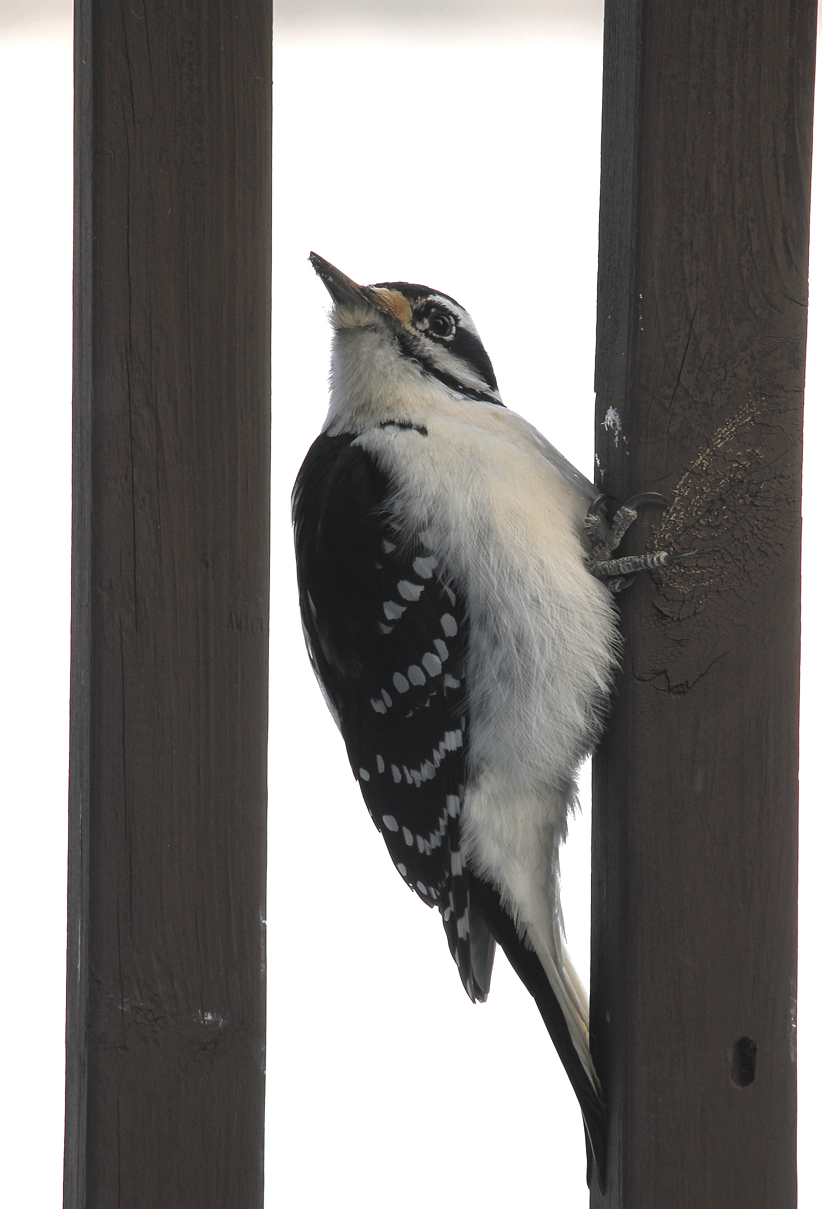 Hairy Woodpecker6