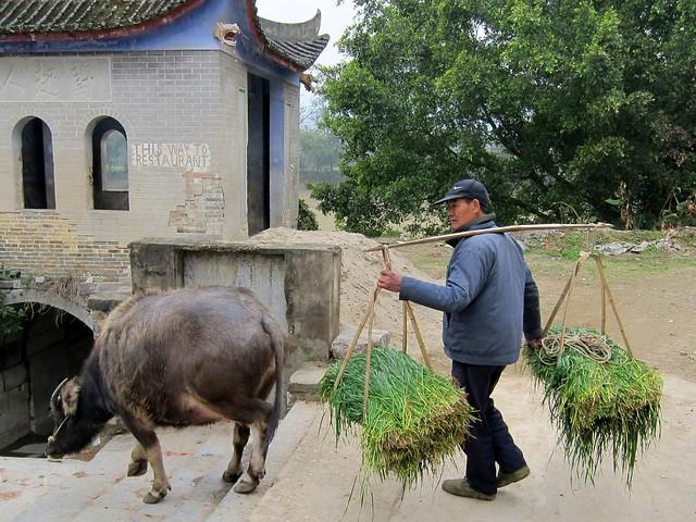Friday Postcard: Chinese Water Buffalo
