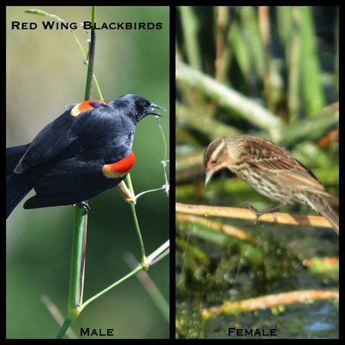 Red Wing Black Birds