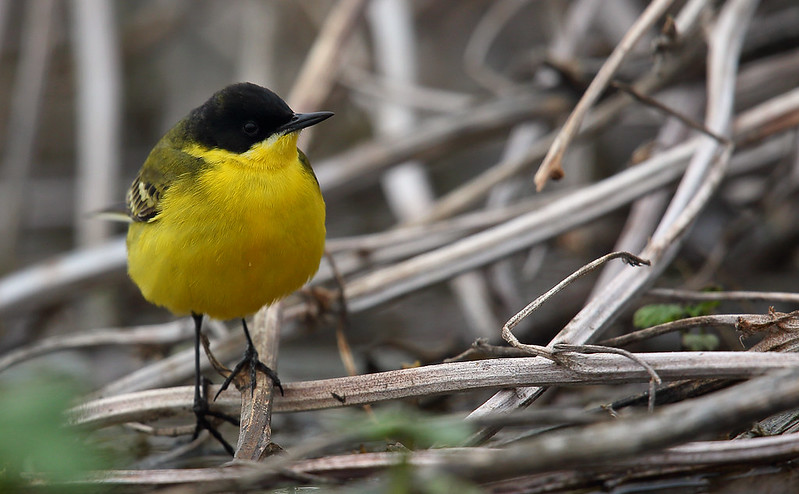 Yellow Wagtail [feldegg]