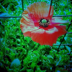 Papavero...Poppy ...